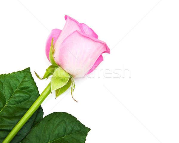 Pink rose on white Stock photo © almaje