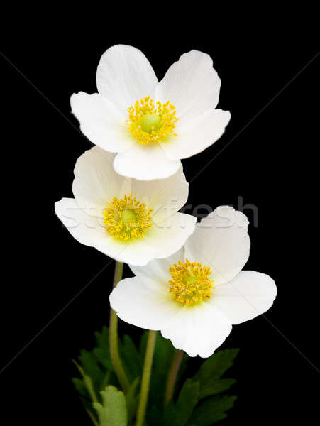 White anemone flowers Stock photo © almaje