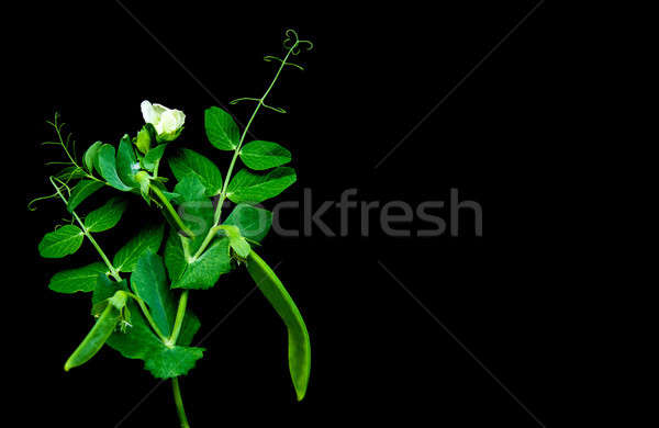 Green peas on a black Stock photo © almaje
