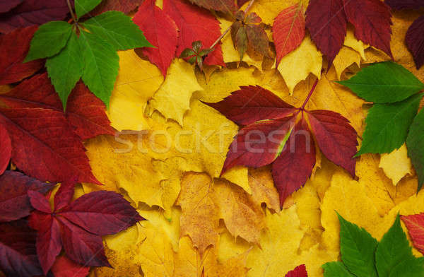 Autumn leaves as a background Stock photo © almaje