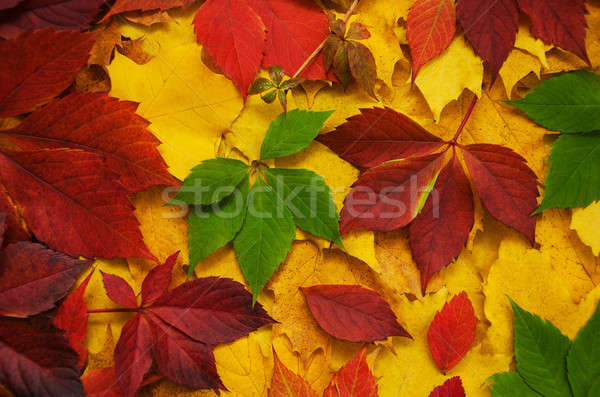 Hojas de otoño colorido brillante fondo naranja rojo Foto stock © almaje