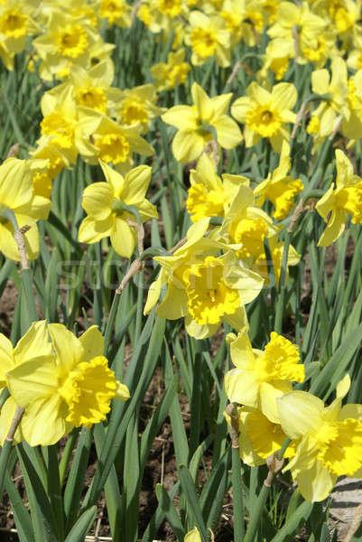 スイセン 花 春 フルフレーム 活気のある 黄色 ストックフォト © AlphaBaby