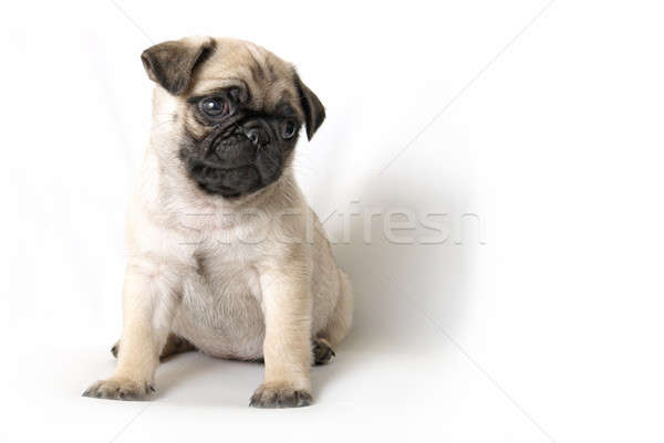 Adorable Pug Puppy Stock photo © AlphaBaby