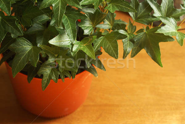 Healthy Ivy Houseplant Stock photo © AlphaBaby