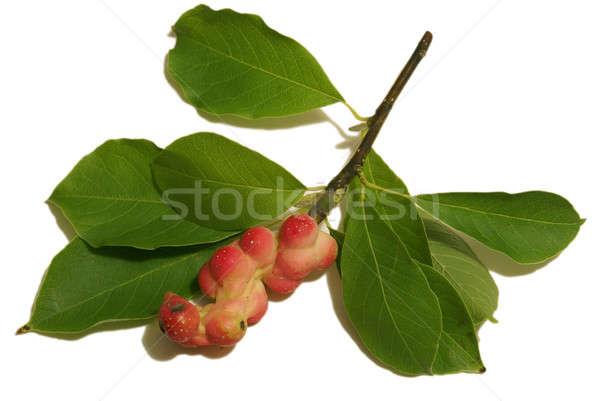 Magnolia gyümölcs hüvely izolált ág mag Stock fotó © AlphaBaby