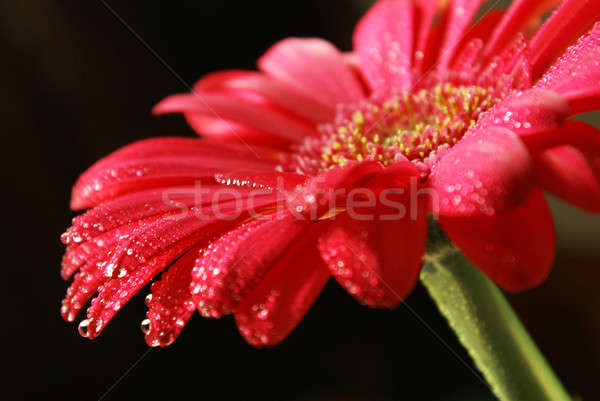 Closeup Water On Gerber Flower Stock photo © AlphaBaby