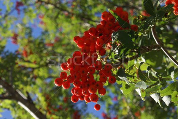 Snake Berries Ripened Stock photo © AlphaBaby