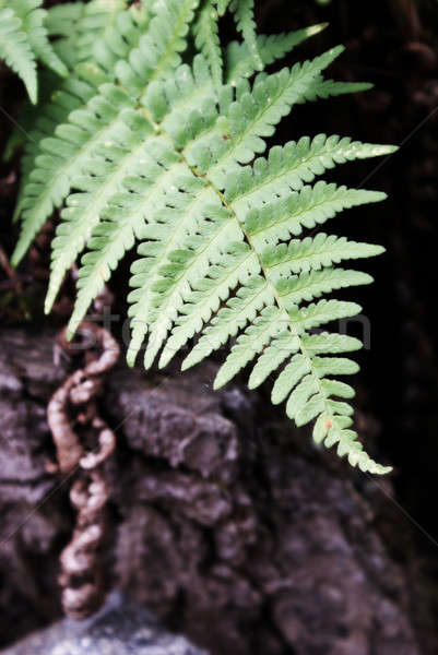 Forest Fern Stock photo © AlphaBaby