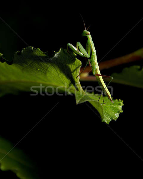 Praying Mantis Stock photo © AlphaBaby