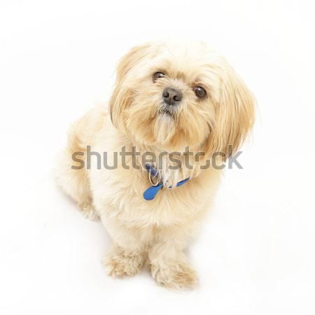 Shih Tzu Stock photo © AlphaBaby