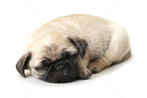 Adorable Sleeping Pug Puppy Stock photo © AlphaBaby