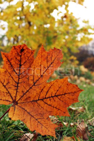 Akçaağaç yaprağı renkler düşmek doğa yaprak Stok fotoğraf © AlphaBaby