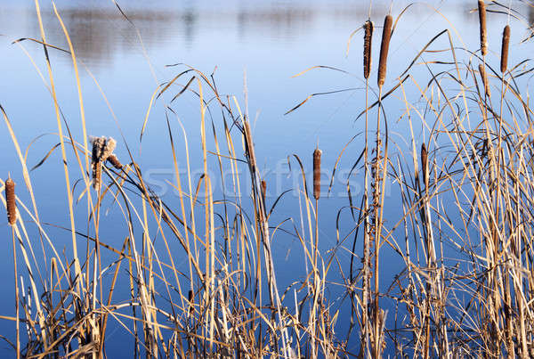 Autumn Cattails Stock photo © AlphaBaby