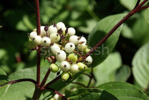 Wild Berries Closeup Stock photo © AlphaBaby