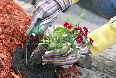 Planting Flowers Stock photo © AlphaBaby