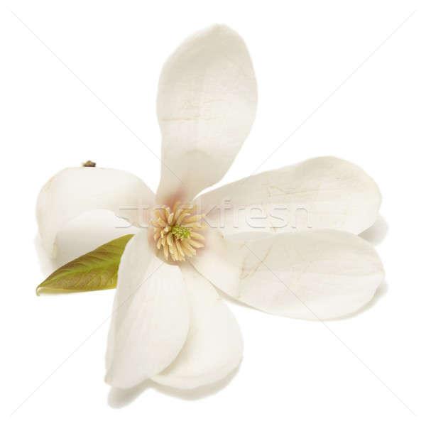 Yalıtılmış manolya çiçek çiçekli çiçek Stok fotoğraf © AlphaBaby