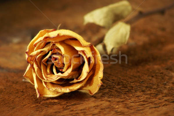 Dried Rose Stock photo © AlphaBaby