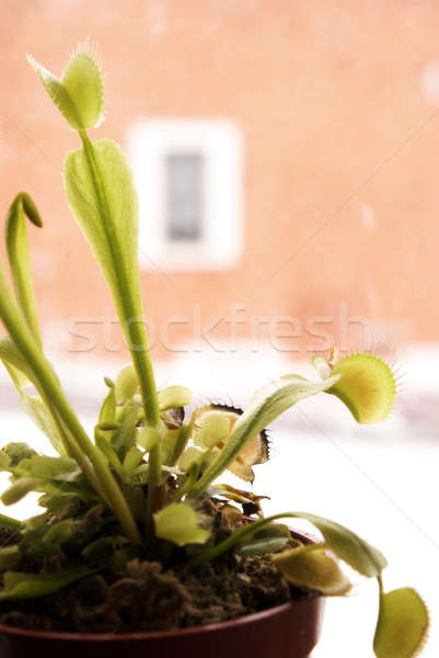 Venus Fly Trap Stock photo © AlphaBaby