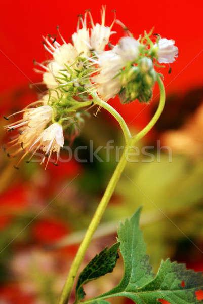 Wildflower achtergrond Rood Stockfoto © AlphaBaby