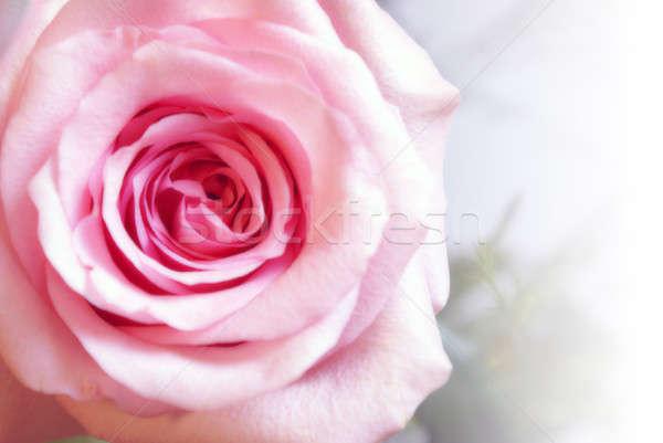 Pink Rose Closeup Stock photo © AlphaBaby