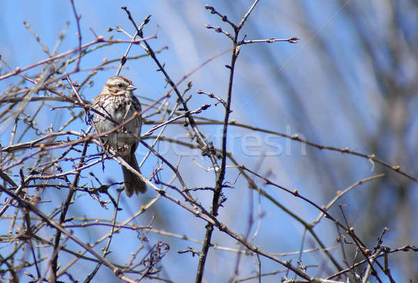 Song Sparrow Stock photo © AlphaBaby