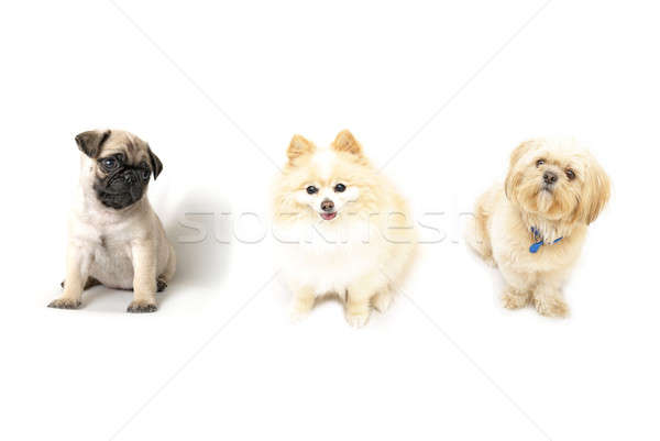 три собаки послушный изолированный Сток-фото © AlphaBaby