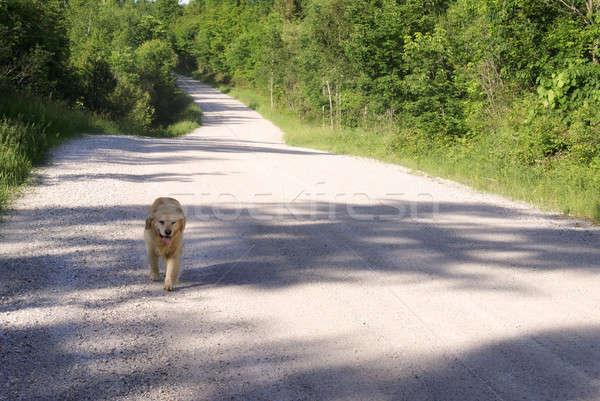 Dog Freely Walking Stock photo © AlphaBaby