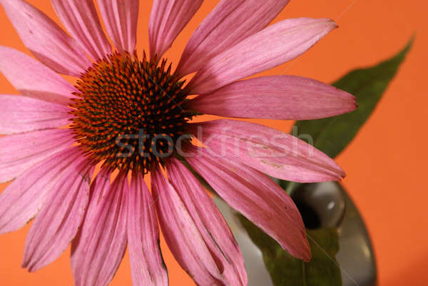 Echinacea Herbal Flower Stock photo © AlphaBaby