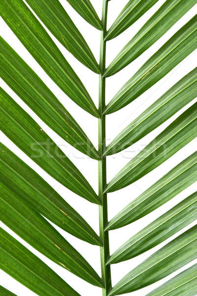 Palm Frond Stock photo © AlphaBaby