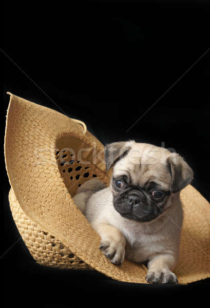Pug Puppy in a Hat Stock photo © AlphaBaby