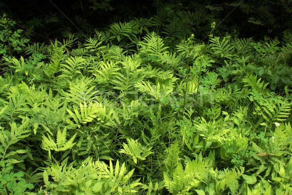 Abundant Ferns Stock photo © AlphaBaby