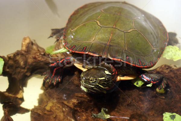 север американский окрашенный черепахи один изображение Сток-фото © AlphaBaby