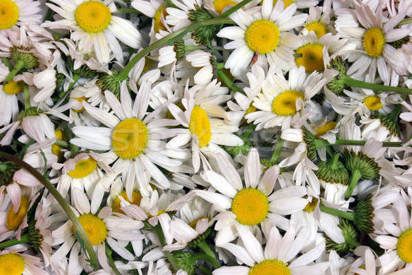 Camomila quadro completo flor saúde Foto stock © AlphaBaby