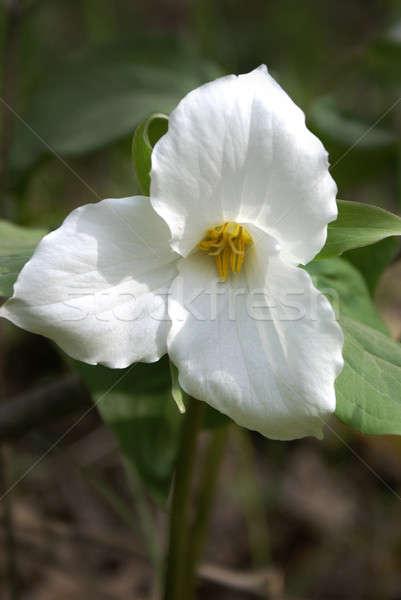 Witte bloem ontario Canada voorjaar plant Stockfoto © AlphaBaby