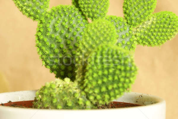 Potted Cactus Stock photo © AlphaBaby