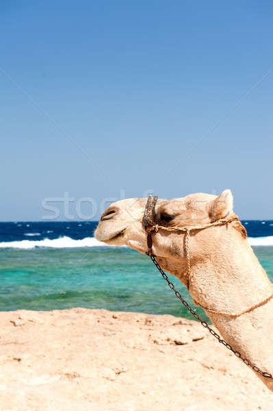 Camel Stock photo © alphaspirit