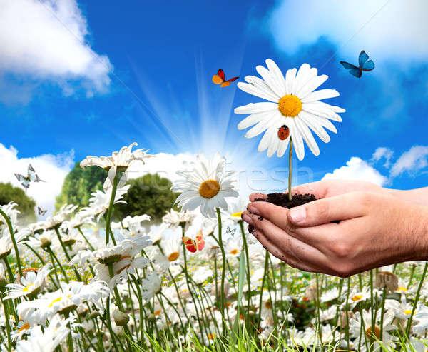 Chamomile flower Stock photo © alphaspirit