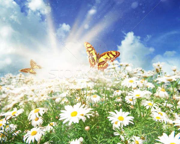 Sun on a meadow of daisies Stock photo © alphaspirit