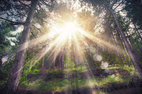 Bosques luz del sol árboles forestales puesta de sol Foto stock © alphaspirit