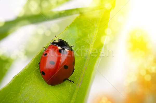 Coccinelle macro feuille printemps herbe nature Photo stock © alphaspirit