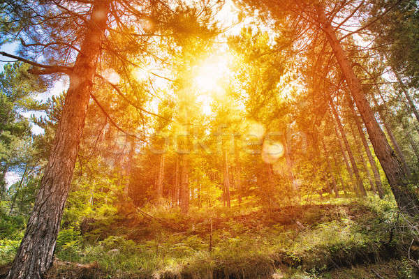 Yellow sunrise in a peaceful green forest Stock photo © alphaspirit