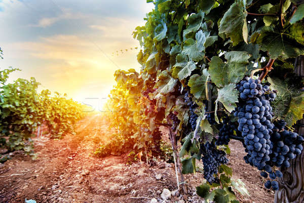 Campo vinha completo uvas nascer do sol Foto stock © alphaspirit