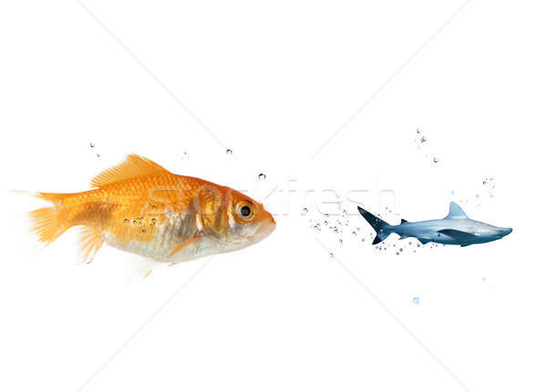 Big goldfish attacks a scared shark in the ocean. concept of bravery Stock photo © alphaspirit