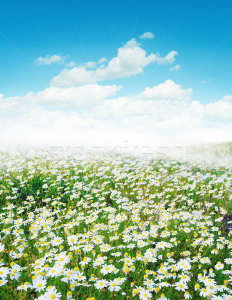 Daisy field Stock photo © alphaspirit