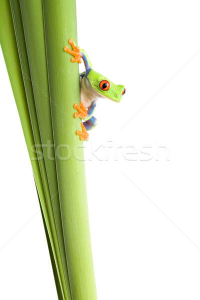 frog on plant isolated white Stock photo © alptraum