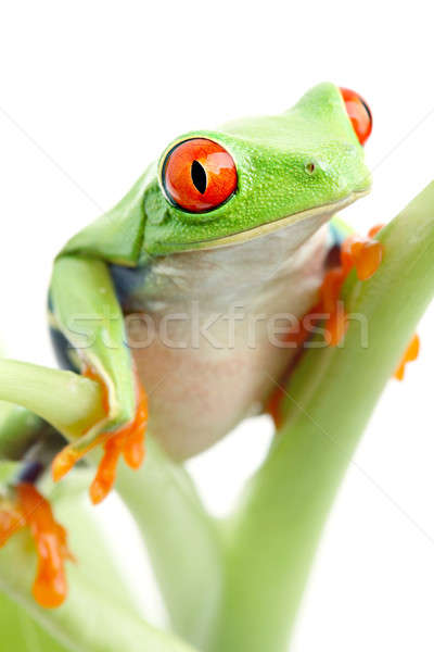 frog on plant isolated Stock photo © alptraum