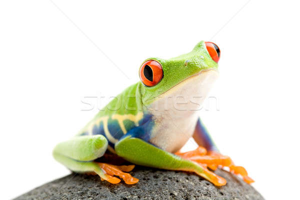 frog on a rock Stock photo © alptraum