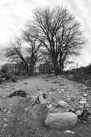 Kuru büyük çıplak ağaçlar siyah beyaz Stok fotoğraf © alptraum
