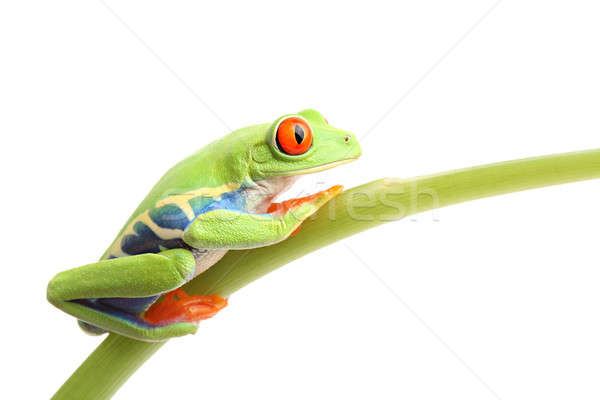 frog on stem isolated Stock photo © alptraum