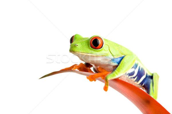 frog on guzmania Stock photo © alptraum
